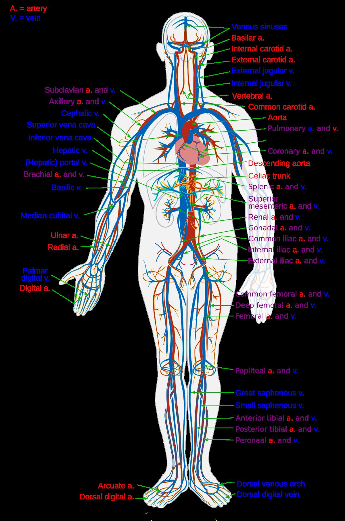 kaip padidinti lytiniu organu vyra kaip praskiesti furaciliną varpos plovimui
